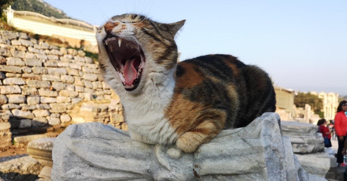 Celestyal Olympia Cruises Ephesus Kusadasi Excursion Cat