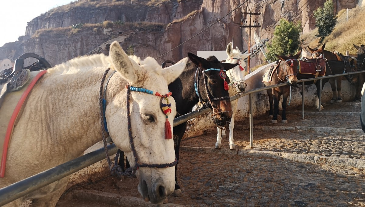 Santorini Donkeys Steps Excursion Fira Tied Up